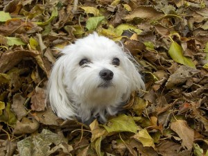 A Maltese enjoying the fall leaves with a neatly groomed coat