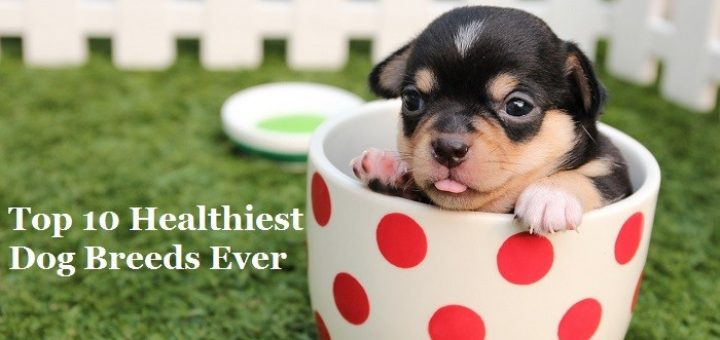 Top 10 Healthiest Dog Breeds Ever
